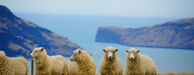 Merino Schafe in Neuseeland